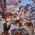 平野神社 桜 2018