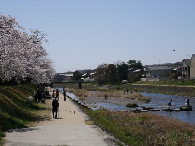 高野川 桜 2018