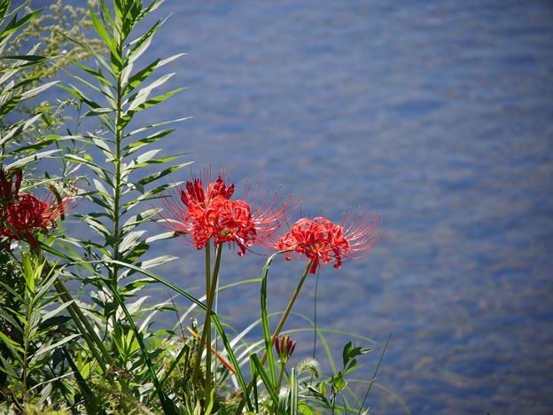 高野川でポツリと咲いてた彼岸花