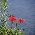 写真: 高野川でポツリと咲いてた彼岸花