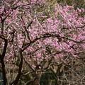 2019 京都御所の梅苑より 01