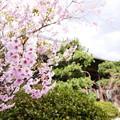 知恩寺のフジ桜
