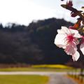河津桜 逆光で