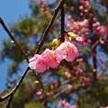 舘山寺桜(3)