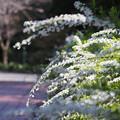 Photos: **が咲き始めた…という事で、見に行ってきた時の写真です