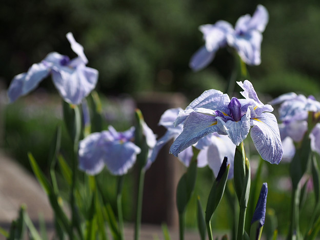 「山紫水明」という名前のハナショウブ