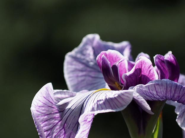 「紫明」という名前のハナショウブ