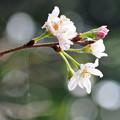 十月桜 A