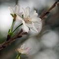 十月桜 B