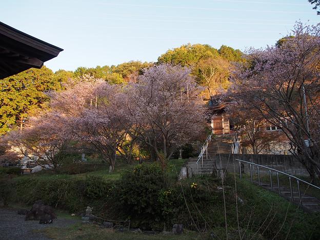 曹洞宗 金光明山 光明寺の四季桜