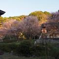 Photos: 曹洞宗 金光明山 光明寺の四季桜