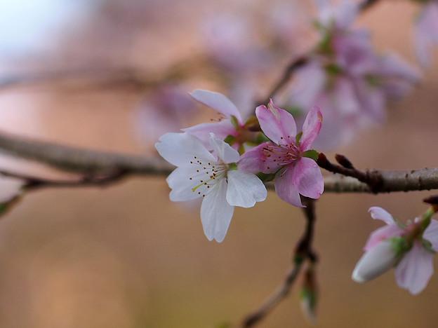 四季桜 接写