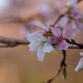 Photos: 四季桜 接写