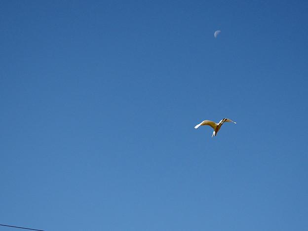 Photos: 月光鳥