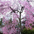 写真: 宮島の枝垂桜