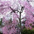 宮島の枝垂桜
