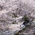 写真: 桜満開 潮の春