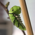 写真: アゲハ前蛹