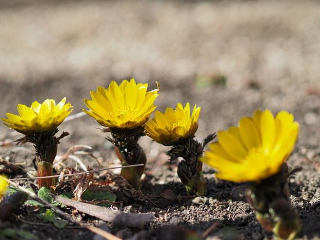 小さな向日葵のように