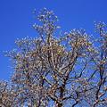 白木蓮のつぼみ