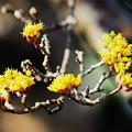 写真: サンシュウの花