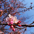 川津桜の開花