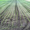 写真: 麦の芽