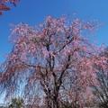 石山観音の桜