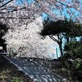 s-P3301049石山観音の桜
