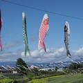 写真: サボっている鯉たち