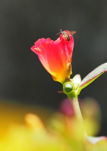 ポーチュラカと蜂