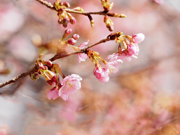 Photos: 河津桜2