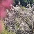 Photos: 白梅と紅梅のコラボ
