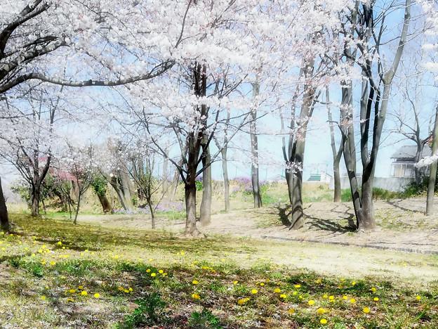 タンポポの咲く散歩道