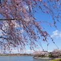 波志江沼のサクラ2