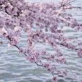 波志江沼のサクラ4