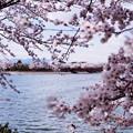 波志江沼のサクラ3