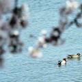 Photos: 桜の下で憩う