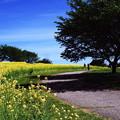 菜の花畑の散歩道