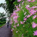 Photos: コスモスの咲く散歩道
