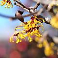 Photos: マンサクの花
