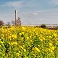 Photos: 菜の花の季節