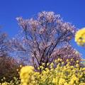 菜の花とコヒカンザクラ