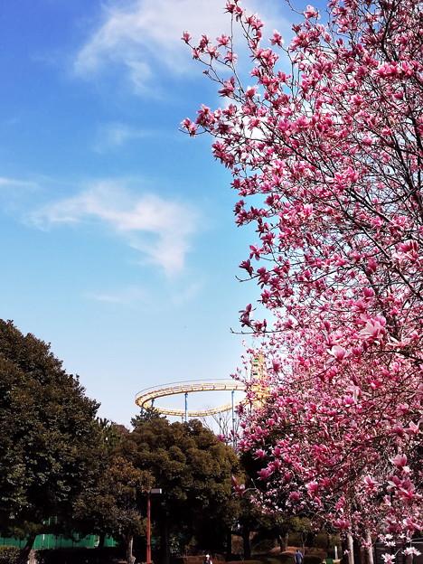 木蓮が咲く公園