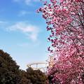 Photos: 木蓮が咲く公園