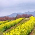 Photos: 菜の花の丘