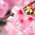 ピンクに咲く