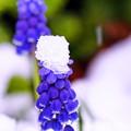 Photos: 春の淡雪3