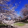 Photos: 大室公園の桜