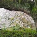 Photos: 古木の桜